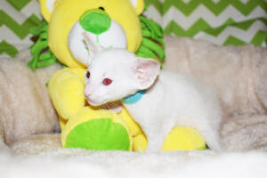 Oriental shorthair kitten for sale from Cataristocrat Pneuma 4 weeks (9)