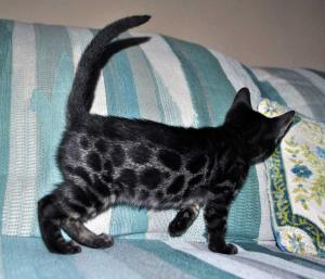 Purebred Brown kitten for sale from Bengal cattery