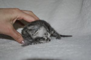 Perfect Storm bengal silver kittens for sale from our Cattery