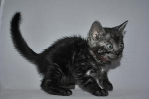 Peter Pan Bengal kitten for sale from our Cattery