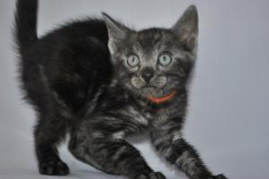 Peter Pan  Bengal cats for sale from our Cattery