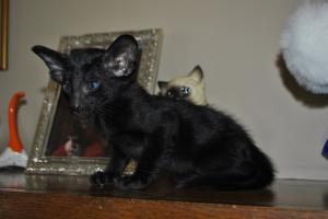 Pure Breed Oriental shorthair kittens for adoption from Cataristocrat Cattery