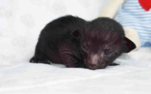 Oriental short-hair kittens for sale. Black-ticking-male from Cataristocrat Cattery