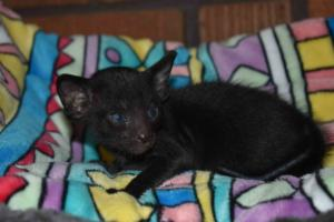 Oriental shorthair kitten for sale from Cataristocrat Cattery