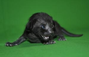 Salem Black Oriental shorthair cat for sale from Cataristocrat Cattery