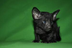 Salem Oriental shorthair kitten for sale from Cataristocrat Cattery