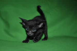 Oriental shorthair kitten for adoption from Cataristocrat Cattery