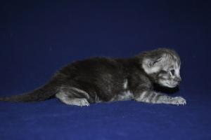 Sarabi Bengal cats for sale from our cattery
