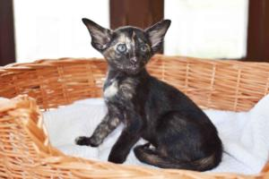 Setsuko -oriental-shorthair-kitten for sale from Cataristocrat Cattery