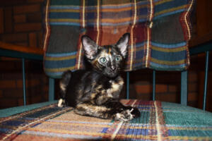 Setsuko -oriental-shorthair-kitten  for adoption from Cataristocrat Cattery