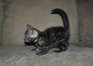 Silver Bengal cats for sale from our cattery