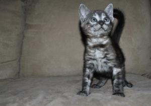 Silver Bengal kittens for sale from our cattery