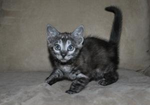 Bengal kittens for adoption from our cattery