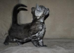 kittens for sale from our cattery