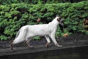 Siamese-cat-Siamese-Queen-Ida-Cataristocrat-Cattery (2)