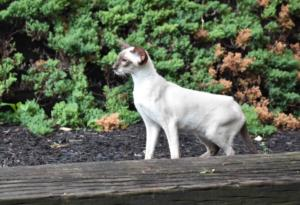 Siamese-cat-Siamese-Queen-Ida-Cataristocrat-Cattery (3)