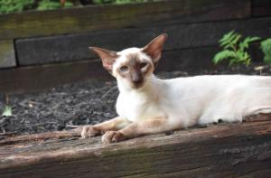 Siamese-cat-Siamese-Queen-Ida-Cataristocrat-Cattery (4)