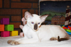 Siamese Cat for sale Kay 11weeks (1)