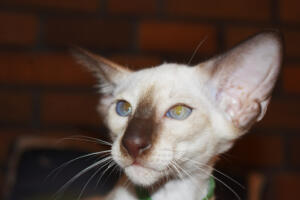 Siamese Cat for sale Kay 11weeks (11)