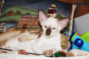 Siamese Cat for sale Kay 11weeks (13)