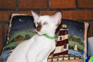 Siamese Cat for sale Kay 11weeks (15)