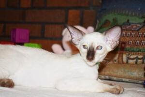 Siamese Cat for sale Kay 11weeks (16)