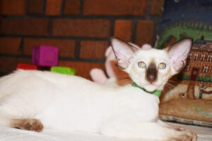 Siamese Cat for sale Kay 11weeks (17)