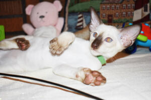 Siamese Cat for sale Kay 11weeks (18)