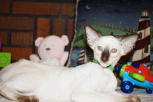 Siamese Cat for sale Kay 11weeks (20)