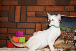 Siamese Cat for sale Kay 11weeks (3)