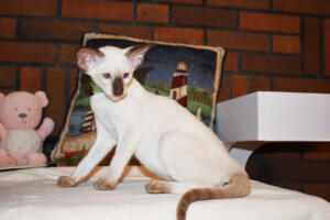 Siamese Cat for sale Kay 11weeks (5)