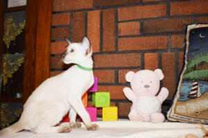 Siamese Cat for sale Kay 11weeks (6)