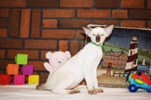 Siamese Cat for sale Kay 11weeks (7)