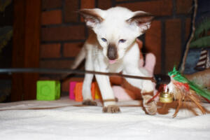 Siamese Cat for sale Kay 11weeks (8)