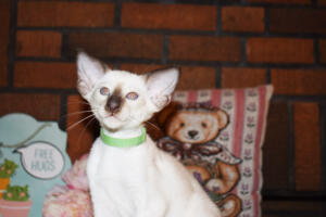 Siamese Cat for sale Kay 8 weeks (10)