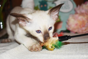 Siamese Cat for sale Kay 8 weeks (11)