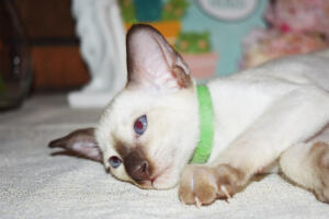 Siamese Cat for sale Kay 8 weeks (12)