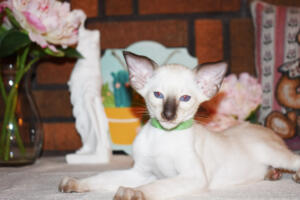 Siamese Cat for sale Kay 8 weeks (13)