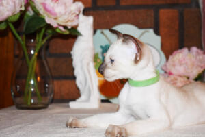 Siamese Cat for sale Kay 8 weeks (14)