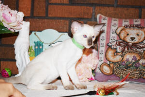 Siamese Cat for sale Kay 8 weeks (15)