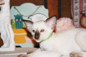 Siamese Cat for sale Kay 8 weeks (18)