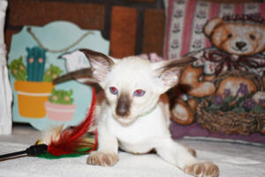 Siamese Cat for sale Kay 8 weeks (2)
