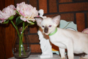 Siamese Cat for sale Kay 8 weeks (3)