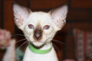 Siamese Cat for sale Kay 8 weeks (4)