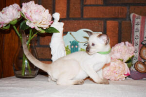 Siamese Cat for sale Kay 8 weeks (5)