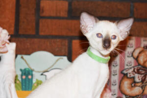 Siamese Cat for sale Kay 8 weeks (7)