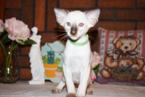 Siamese Cat for sale Kay 8 weeks (9)