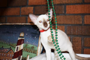Siamese Cat for sale Theia 11 weeks (14)