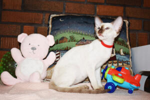 Siamese Cat for sale Theia 11 weeks (15)