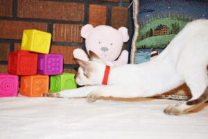 Siamese Cat for sale Theia 11 weeks (17)